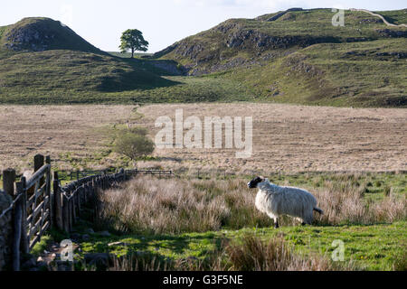 Sheep and the Sycamore Gap and Robin Hood tree, Hadrian's Wall, Northumberland National Park, England - Stock Photo