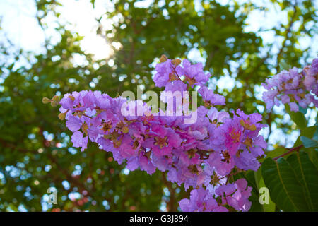purple pink flowers on a tree in Thailand - Stock Photo