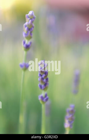 Close up of lavender flowers in field - Stock Photo