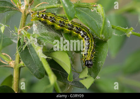 caterpillar of box tree moth cydalima perspectalis. Black Bedroom Furniture Sets. Home Design Ideas