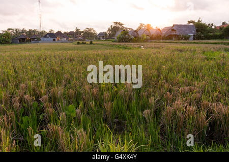 Sunset over a rice field in Ubud, Bali - Stock Photo