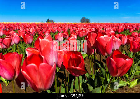Low angle view a beautiful red tulips in a field - Stock Photo