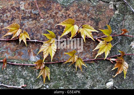 Boston ivy (Parthenocissus tricuspidata) - Stockfoto