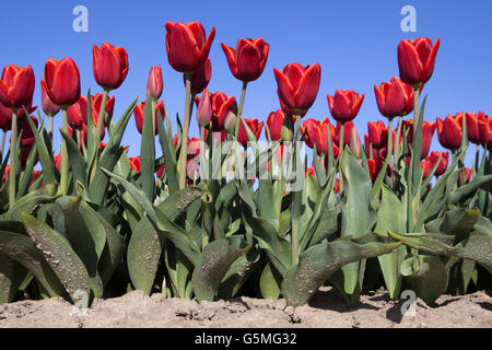 Front view of a low angle picture of red tulip flowers on a blue sky - Stock Photo
