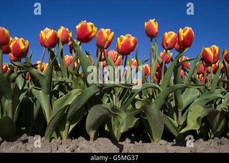 Front view of an low angle picture of tulip flowers on a blue sky - Stock Photo
