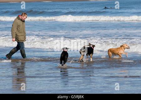 man walking dogs on beach beaches dog walk walkies sea surf run running in the uk - Stock Photo