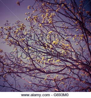 Yellow blossom on tree branches in spring - Stock Photo
