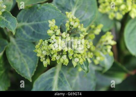 Hydrangea, summer flower, gardening, Hampshire, British flower, bee-loving - Stock Photo