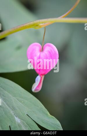 Pink bleeding heart flower - Stock Photo
