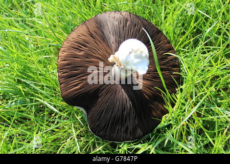 Freshly picked, British Field mushroom on grass, underside showing. - Stock Photo