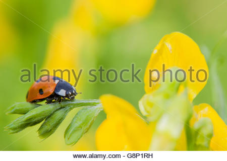 seven-spot ladybird (Coccinella septempunctata), Bavaria, Germany - Stockfoto