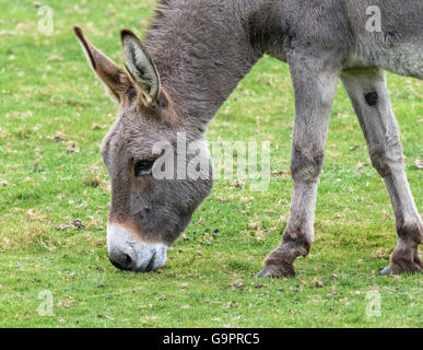 Close-up head and neck shot of a grey donkey with a white muzzle grazing on green grass - Stock Photo