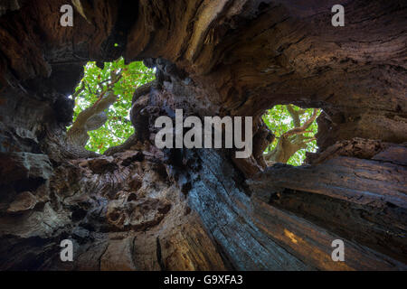 View up to canopy through holes in a veteran English Oak tree (Quercus robur). Ancient oak trees are often hollow - Stock Photo