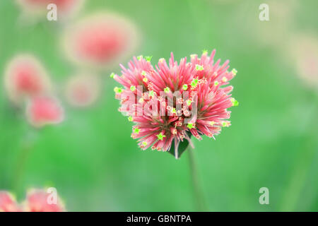 gomphrena globosa flowers beautiful pink - Stock Photo