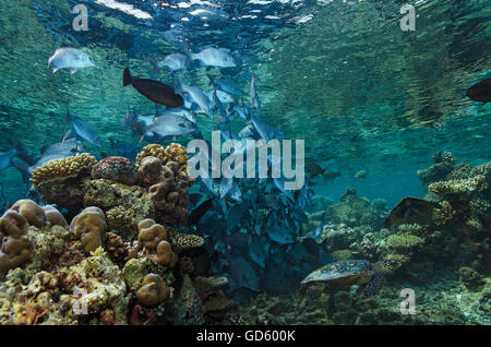 Shoal of Snubnose rudderfish, Kyphosus cinerascens, spawning on top of coral reef, Maldives, Indian Ocean - Stock Photo