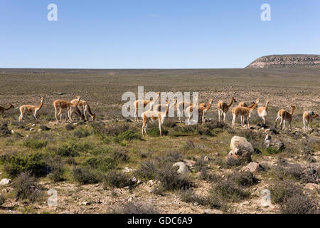 """pampa mature singles Hunting red stag in la pampa, argentina the deer that roared  """"the terrain is a mix of rolling hills, scrub, and mature forest interspersed with open grassland."""