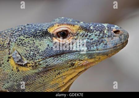 Portrait of a Komodo Dragon,the giant of the lizard family - Stock Photo