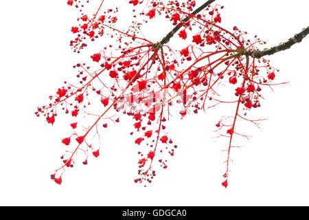 Brachychiton acerifolius, Illawarra Flame Tree flowers isolated on white - Stock Photo