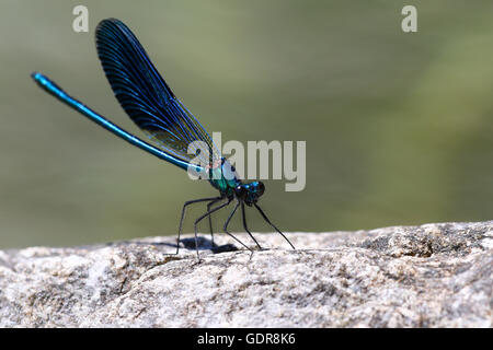 Damsel dragonfly, Calopteryx Virgo, sunbathing on a rock by a pond - Stock Photo