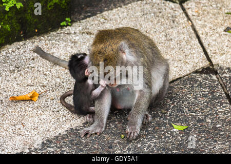 Mother and baby monkey together on Bali - Stock Photo
