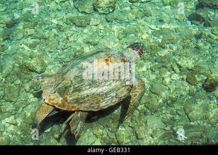 Loggerhead Sea Turtle-Caretta , swimming in the bay of Kasteloriz0 - Stock Photo