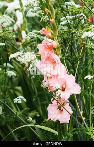 Pink and white gladiolus flower stock photo 148688514 alamy pale pink gladiolus flower and white yarrow stock photo mightylinksfo