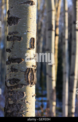 Botany, Stand of Aspen Trees between Pyramid Lake and Patricia Lake near the town of Jasper, Jasper National Park, - Stock Photo