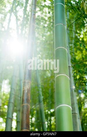 Sunlight through bamboo forest - Stockfoto