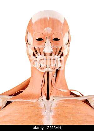 Human Face And Neck Muscles Illustration Stock Photo 112682266 Alamy