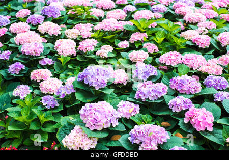 Beautiful pink hydrangea  flowers in the garden. - Stock Photo