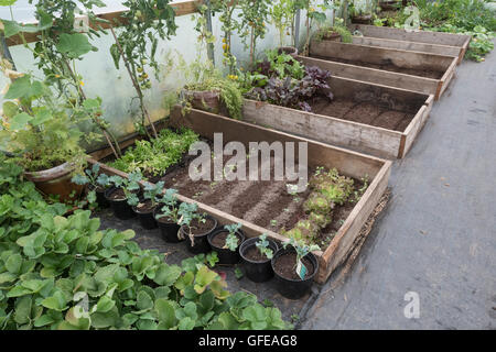 Salad, and other green vegetable crops, being grown in a polytunnel - metaphor for 'growing / grow your own', self - Stock Photo