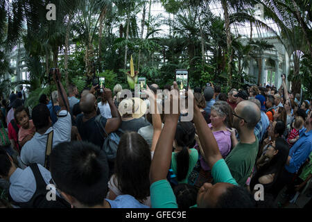 New York, Ny Usa. 29th July, 2016. Crowd of people take pictures of blooming Corpse Flower largest unbranched inflorescence - Stock Photo