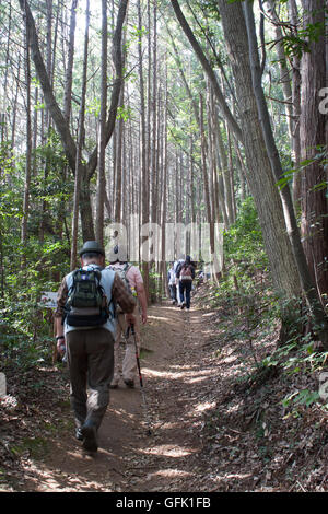 Hikers climbing up through Japanese cedar forest - Stock Photo