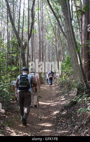 Hikers climbing up through Japanese cedar forest - Stock Photo