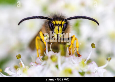 The large dolichovespula saxonica wasp on hogweed blossom in the hedgerows, Yorkshire, UK - Stock Photo