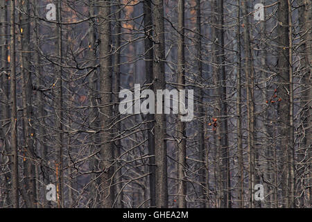 Burned tree trunks after wildfire in coniferous forest - Stock Photo