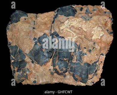 Oviraptorosaur fossil embryo and egg shell fragments, late Cretaceous, 100-66 million years ago, China - Stock Photo