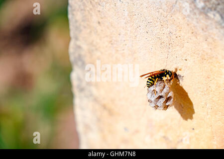 Wasp Queen builds a nest to start a new colony - Stockfoto