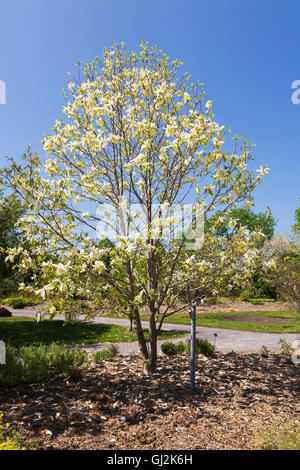 Montreal quebec canada a magnolia tree blossoming flowers at yellow flowering magnolia banana split tree in spring stock photo mightylinksfo Gallery