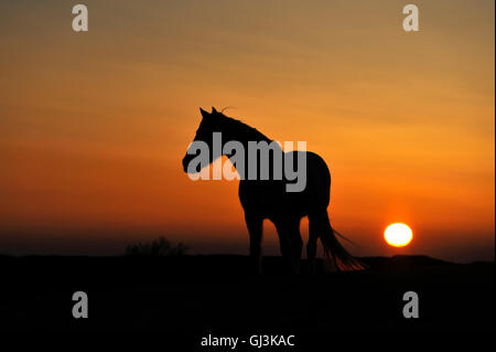 Silhouetted white horse in the Camargue, South of France, Europe - Stockfoto