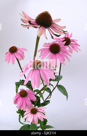 sonnenhut echinacea stock photo royalty free image. Black Bedroom Furniture Sets. Home Design Ideas