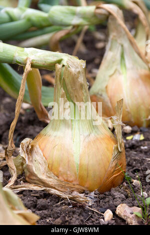 Main-crop Onion which is ripening - Stockfoto