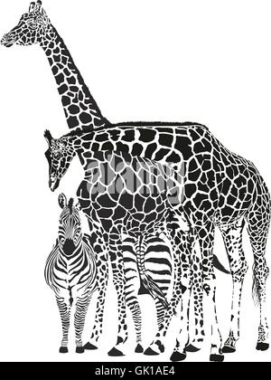 Two giraffes and two zebras - Stock Photo
