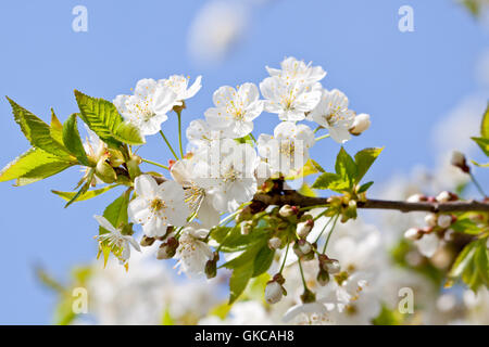 white cherry blossoms on a branch tree with blue himme - Stock Photo
