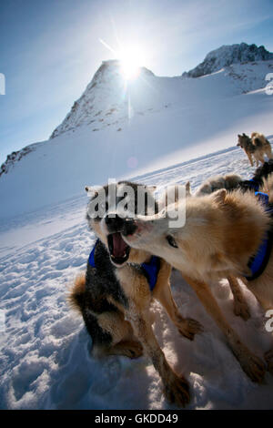 Sled dog. Greenland - Stock Photo