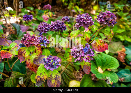Colourful hydrangea flowers at botanic garden in Wellington, New Zealand - Stock Photo