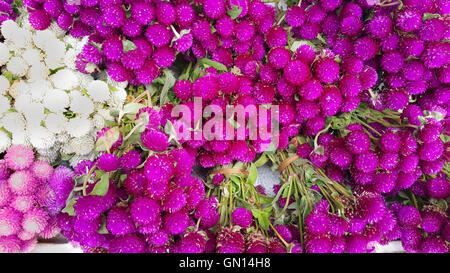 Globe amaranth beauty flower. - Stock Photo