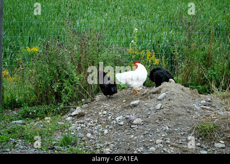 Two Black and One White Chicken in a Cage - Stock Photo