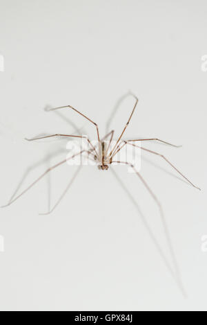 Geslachtsproject17 together with Stock Photo Granddaddy Long Legs Spider Daddy Long Legs Spider Daddy Long Legger 35606742 also Spiders moreover Pholcus Phalangioides Daddy Long Leg also Spider Bodyparts. on spider palps