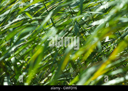 Abstract background / backdrop with plant / reed / reeds bush closeup forming a geometric green blured pattern. - Stock Photo